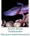 austin-blind-salamander