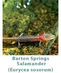 barton-springs-salamander